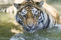 Картинка кошка, взгляд, купание, ©Tambako The Jaguar, морда, тигр, вода, амурский