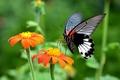 Картинка цветы, природа, бабочка, растение, крылья, насекомое, мотылек