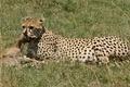 Картинка кошка, антилопа, туша, солнце, трава, гепард, охота