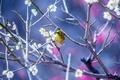 Картинка цветы, дерево, птица, природа, Японская белоглазка, ветки, весна