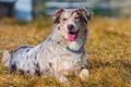 Картинка собака, лето, поле