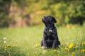 Картинка собака, цветы, щенок, одуванчики, лужайка, Лабрадор-ретривер