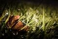 Картинка Листок, трава, осень, grass, fall