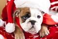Картинка взгляд, собака, мордочка, щенок, колпак, Английский бульдог