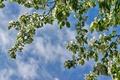 Картинка яблоня, небо, ветки, весна
