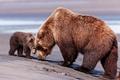 Картинка медведь, мишка, мама, бурый медведь, сын, бурые медведи