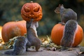 Картинка тыквы, halloween, хлопоты, белки
