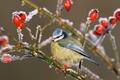 Картинка обыкновенная лазоревка, шиповник, кристаллы, птица, иней, плоды