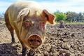 Картинка свинья, фон, природа