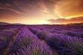Картинка лаванды, поле, закат
