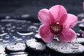 Картинка макро, черные, orchid, цветок, гладкие, розовая, орхидея, камни, капли