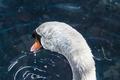 Картинка swan, water, lake, ripples