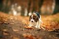 Картинка собака, взгляд, друг, осень, бигль