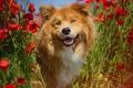 Картинка маки, маковое поле, порода, рыжий, морда, щенок, цветы, собака, портрет