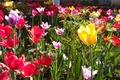 Картинка лето, хорошее настроение, цветы, тюльпаны