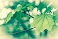Картинка макро, листва, весна, зеленая, ванилька