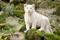Картинка кошка, белый лев, камни, детёныш, трава, мох, львёнок