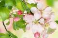 Картинка цветы, красота, flowers, leaves, white, листья, pink, нежные, цветение, apple tree, бутоны, яблоня, petals, tender, ...
