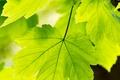 Картинка лето, природа, листья
