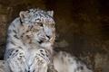 Картинка Ирбис, снежный барс, snow leopard, дикие кошки, хищник