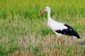 Картинка аист, птица, природа