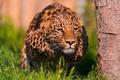 Картинка леопард, стойка, готовность, бросок