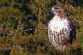 Картинка ветка, ястреб, птица, Краснохвостый сарыч