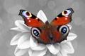 Картинка бабочка, цвет, Color splash, цветок