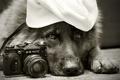 Картинка друг, собака, Zenit, Немецкая овчарка