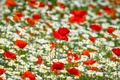 Картинка маки, ромашки, цветы, луг