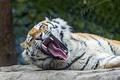 Картинка кошка, клыки, амурский тигр, пасть, ©Tambako The Jaguar, зевает, язык