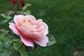 Картинка Розовая роза, Капли, Drops, Pink rose