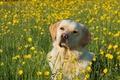 Картинка Лабрадор-ретривер, цветы, лютики, собака, луг