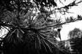 Картинка fir tree, black, tree, white