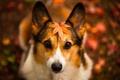 Картинка собака, взгляд, лист