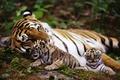 Картинка животные, тигр, tigers, природа, animals, nature