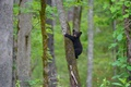 Картинка лес, деревья, медвежонок, на дереве, барибал