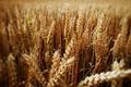 Картинка пшеница, поле, колос