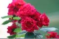 Картинка лето, зеленый, Розы, соцветия, малиновый