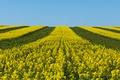 Картинка небо, полосы, поле, желтый, рапс