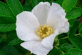 Картинка макро, шиповник, капли, роса, белый, цветок, листья