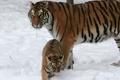 Картинка Тигр, амурский, кошка, снег, тигрица, тигрёнок, котёнок