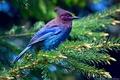 Картинка синие, перья, свет, ель, фиолетовые, дерево, чубатая сойка, ветки, лес, Птица