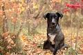 Картинка собака, барбос, пёс, трава, листва, цепочка, ошейник, разноцветие, осень, лес