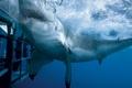 Картинка акула, океан, аквалангист, пасть, белая, клетка