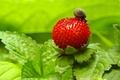 Картинка ягодка, клубничка, улитка