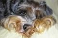 Картинка собака, лохматая, Photoshop