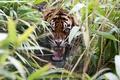 Картинка трава, тигр, хищник, ярость, пасть, клыки