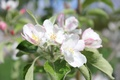 Картинка макро, яблоко, цветок