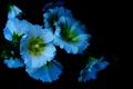 Картинка цветы, лепестки, свет, мальвы, фон, тень
